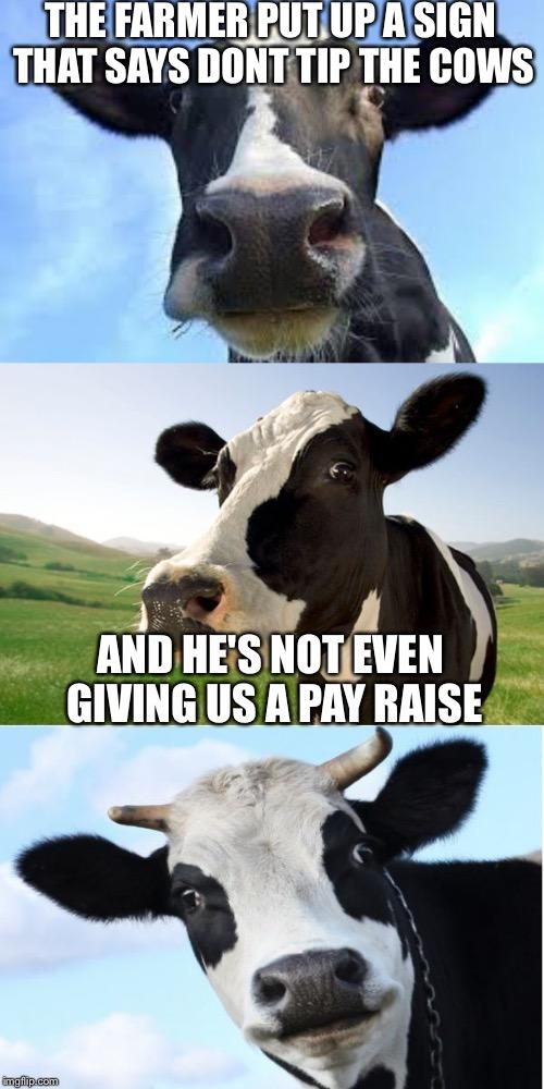 Cow Memes