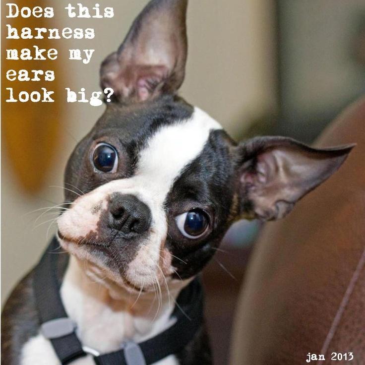 Funny Boston Terrier Memes